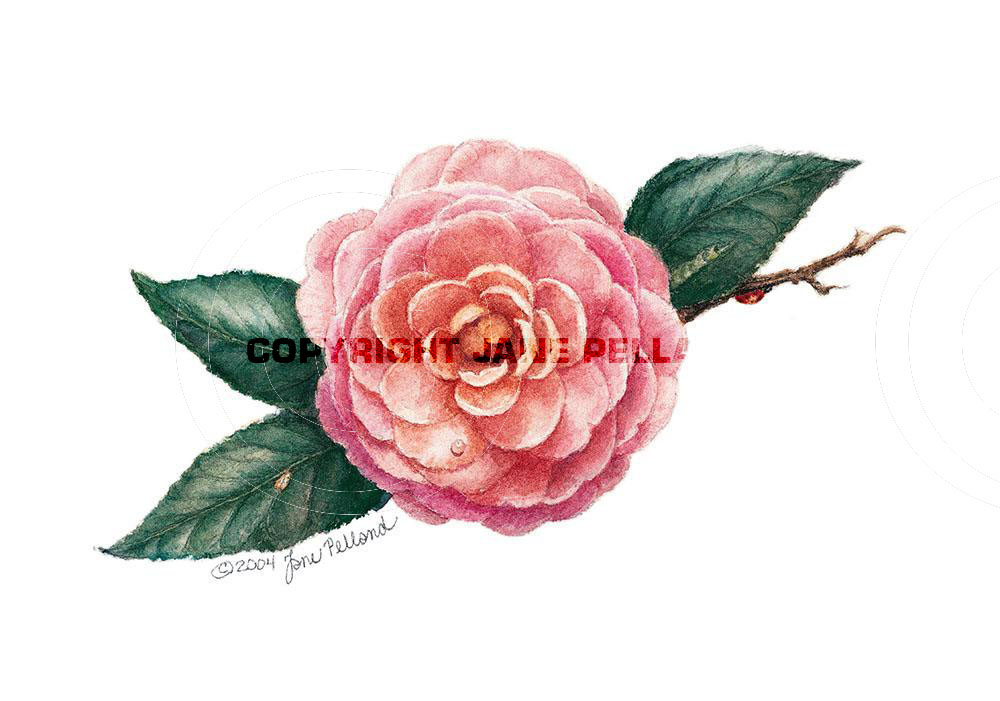 Pink Perfection Camellia